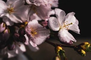 Kirschblütenfest Hamami